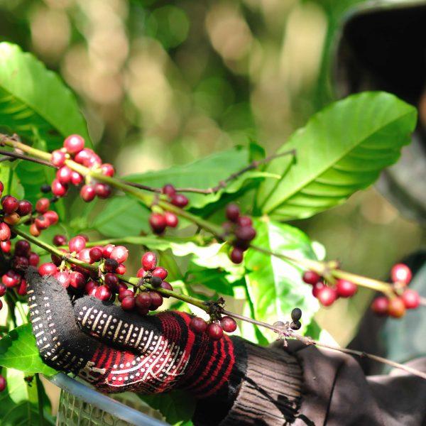 coffee bean plantation