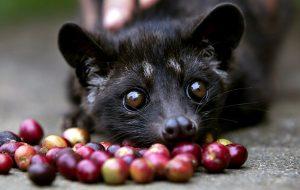 The Infamous Civet-Cat.